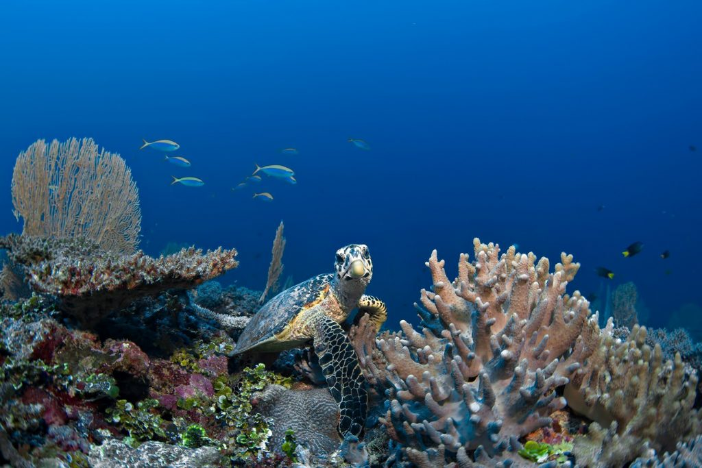 Six Senses Laamu Luxury Resort - Laamu Atoll, Maldives - Sea Turtle