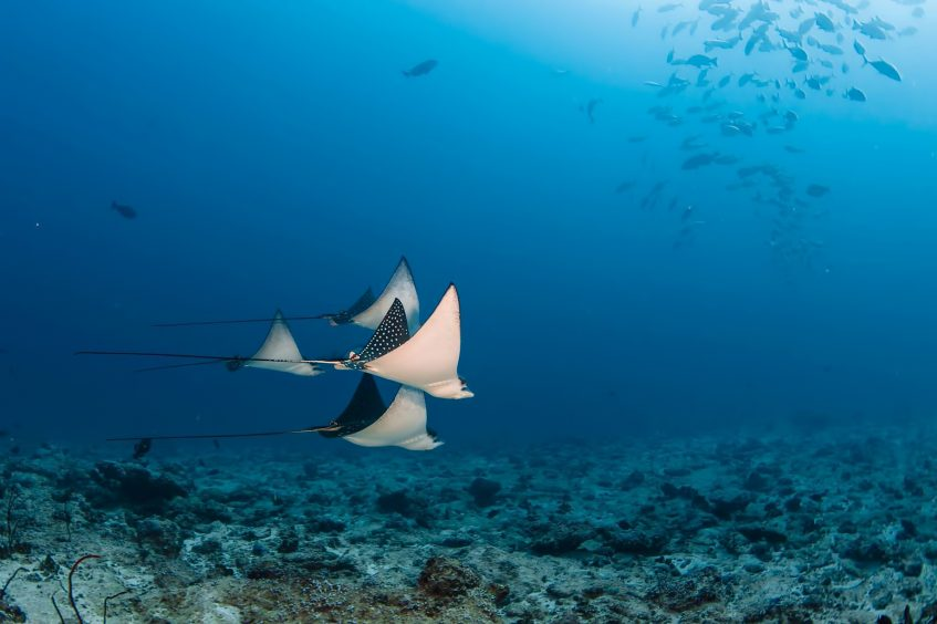 Six Senses Laamu Luxury Resort - Laamu Atoll, Maldives - Manta Rays
