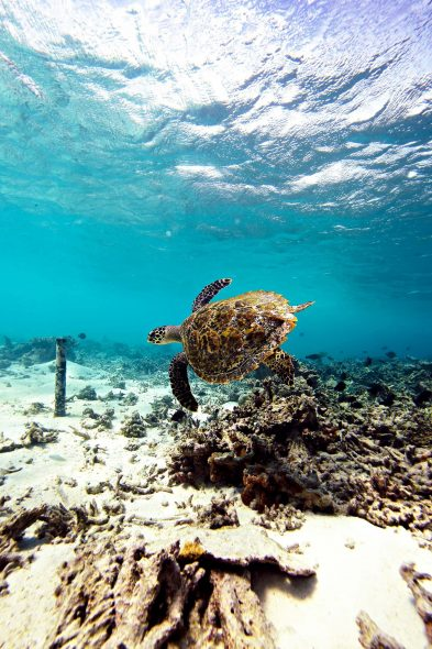 W Maldives Luxury Resort - Fesdu Island, Maldives - Ocean House Reef Turtle