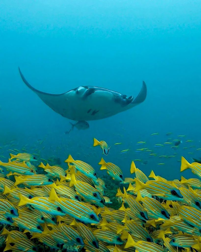 Cheval Blanc Randheli Luxury Resort - Noonu Atoll, Maldives - Manta Ray Underwater