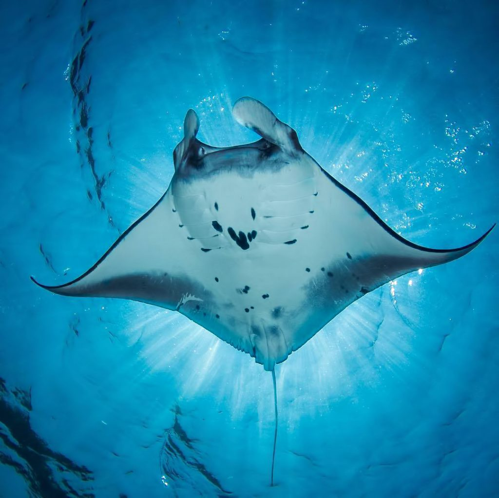 Cheval Blanc Randheli Luxury Resort - Noonu Atoll, Maldives - Manta Ray Underwater View