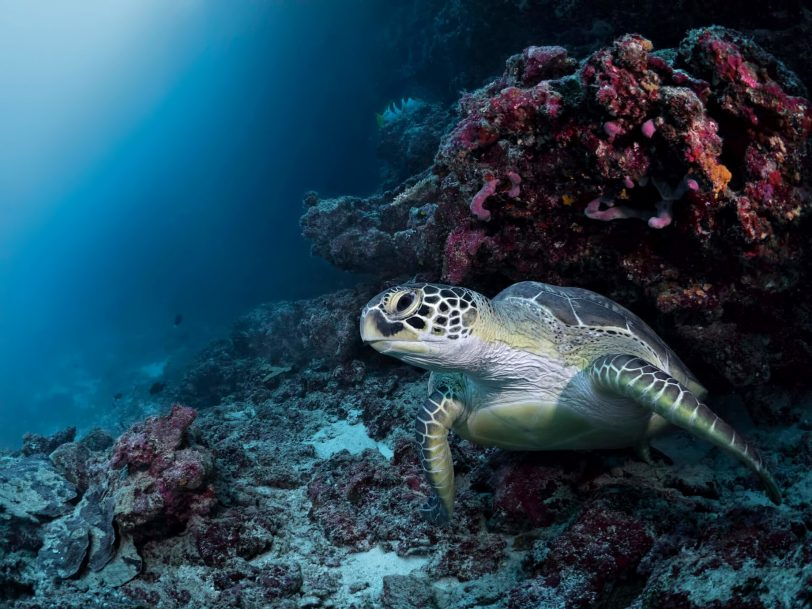 Cheval Blanc Randheli Luxury Resort - Noonu Atoll, Maldives - Turtle Underwater