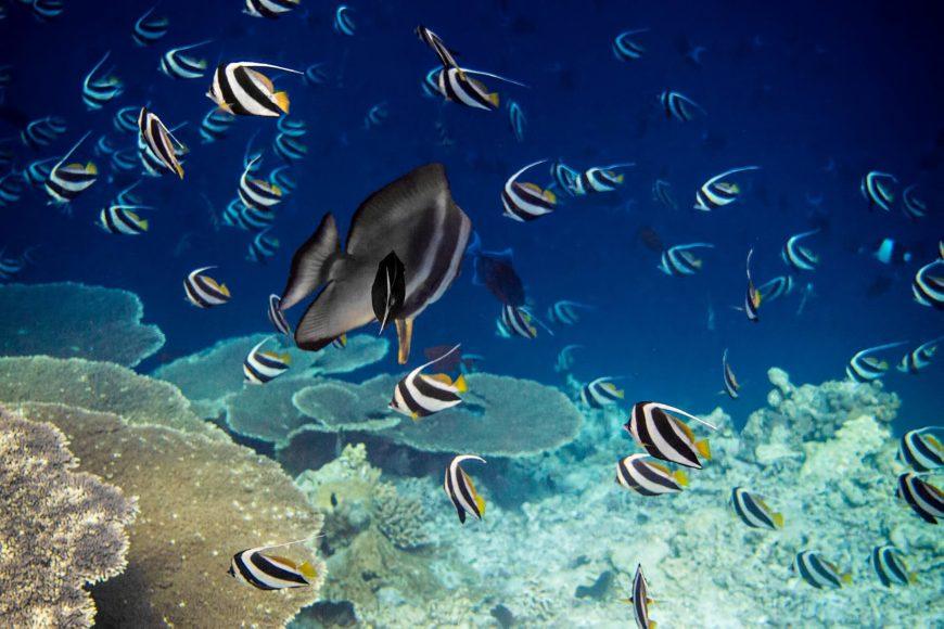 Gili Lankanfushi Luxury Resort - North Male Atoll, Maldives - Underwater Tropical Fish