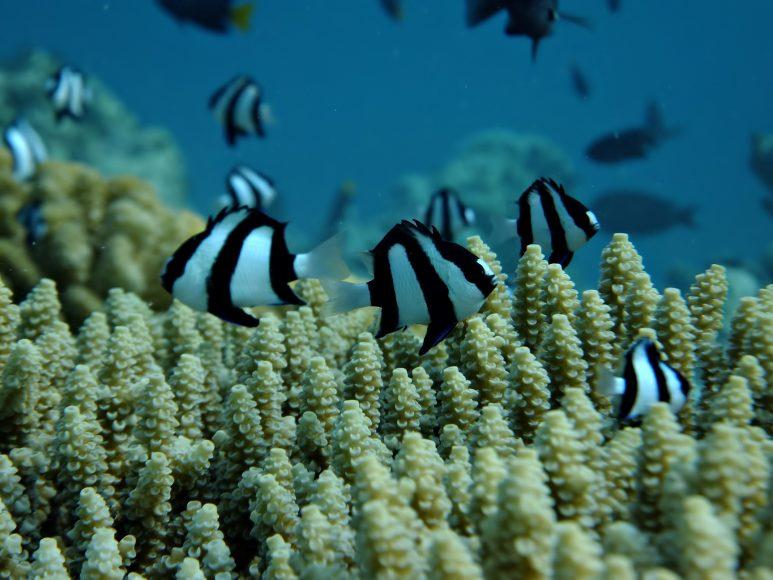 Gili Lankanfushi Luxury Resort - North Male Atoll, Maldives - Underwater Corel Reef Tropical Fish