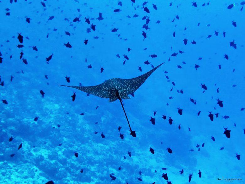 Gili Lankanfushi Luxury Resort - North Male Atoll, Maldives - Underwater Manta Ray