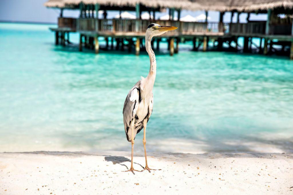 Gili Lankanfushi Luxury Resort - North Male Atoll, Maldives - Beach Tropical Bird