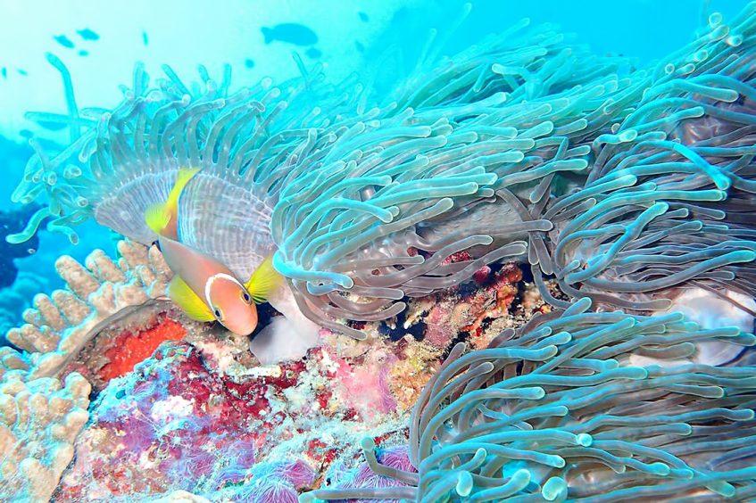 The Nautilus Maldives Luxury Resort - Thiladhoo Island, Maldives - Ocean Reef Pink Fish