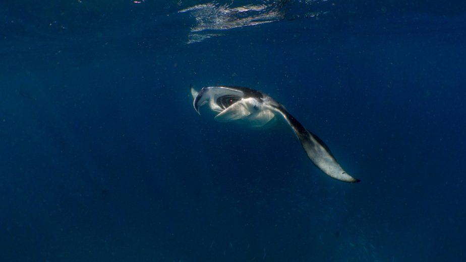 Amilla Fushi Luxury Resort and Residences - Baa Atoll, Maldives - Underwater Manta Ray