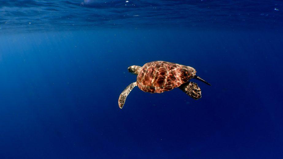 Amilla Fushi Luxury Resort and Residences - Baa Atoll, Maldives - Underwater Sea Turtle