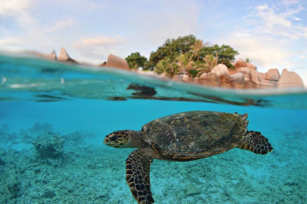 Six Senses Zil Pasyon Luxury Resort - Felicite Island, Seychelles - Island View Turtle Underwater
